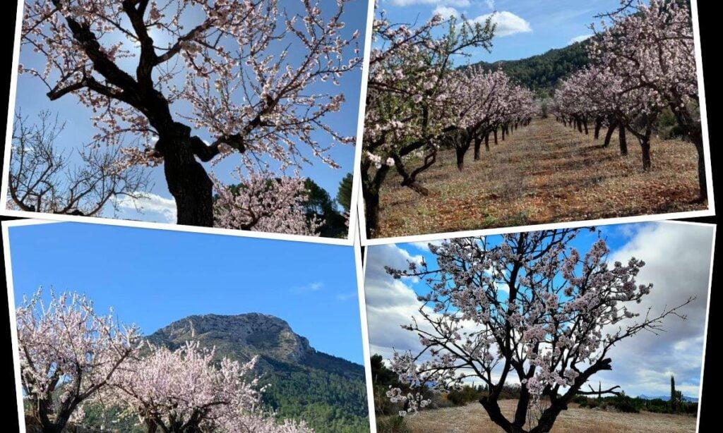 Amandelbloesem-Bloesemroutes-Costa-Blanca